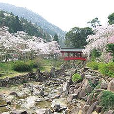 御調八幡宮の桜