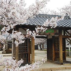 白滝山の桜