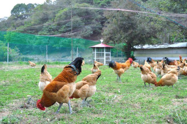島でのびのび育つ鶏(柑太郎)