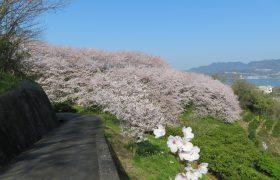 2020桜の開花情報