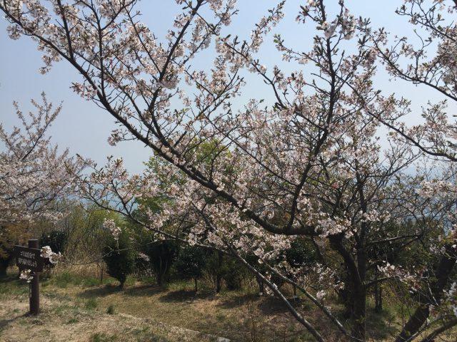 筆影山(散り始め)4月9日撮影