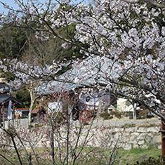 棲眞寺の桜
