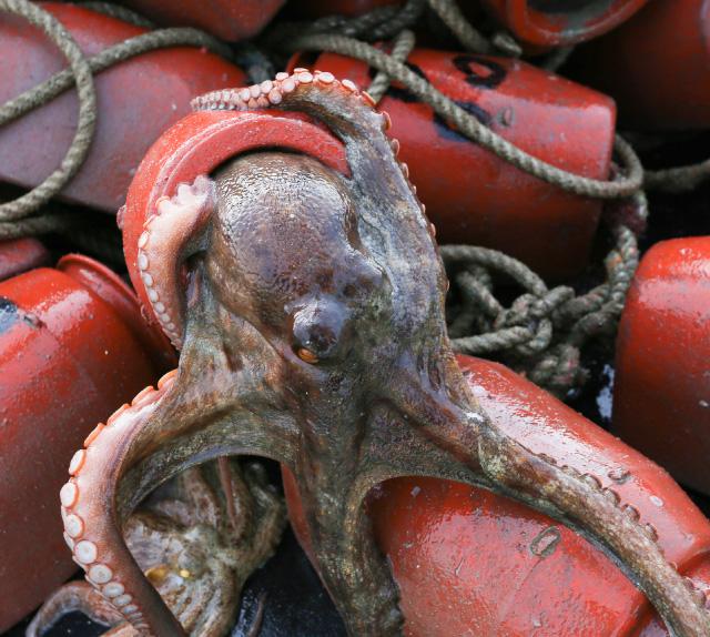 三原のタコ漁は、タコつぼを沈めて獲るタコつぼ漁
