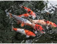 阪井養魚場の錦鯉放流