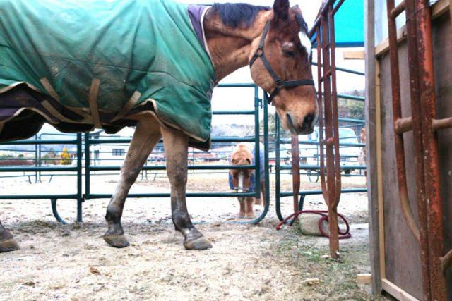 馬・・・ クラブにいる大きな馬とミニチュアホース どちらも馬です
