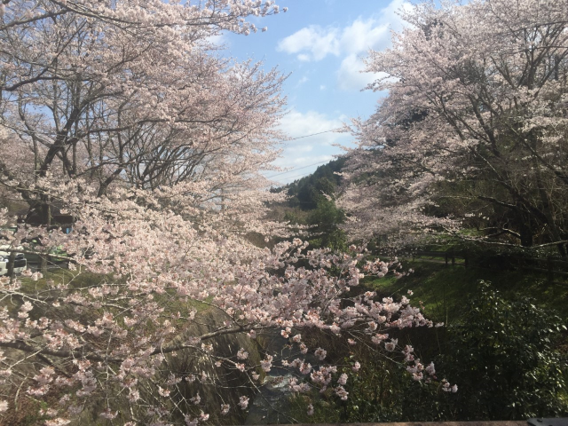 御調八幡宮(9分咲き)4月2日撮影