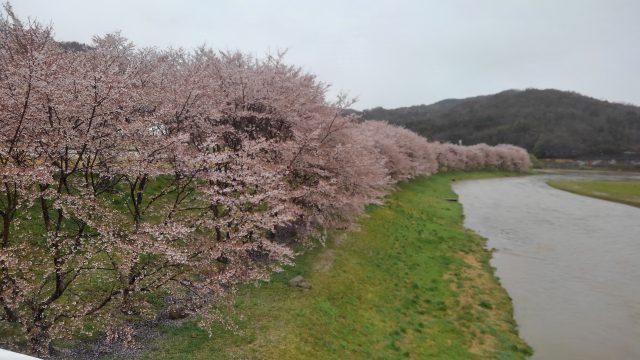 白竜湖(6分散り)4月13日撮影