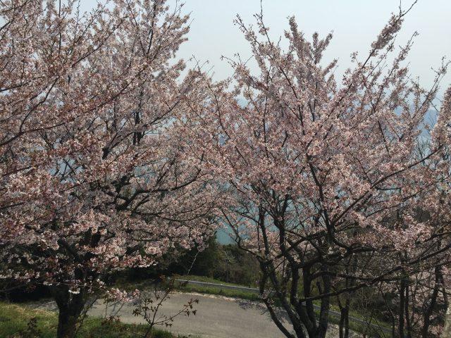 竜王山(散り始め)4月9日撮影
