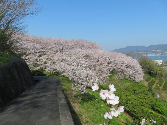 さぎしま塔の峰(満開)4月9日撮影
